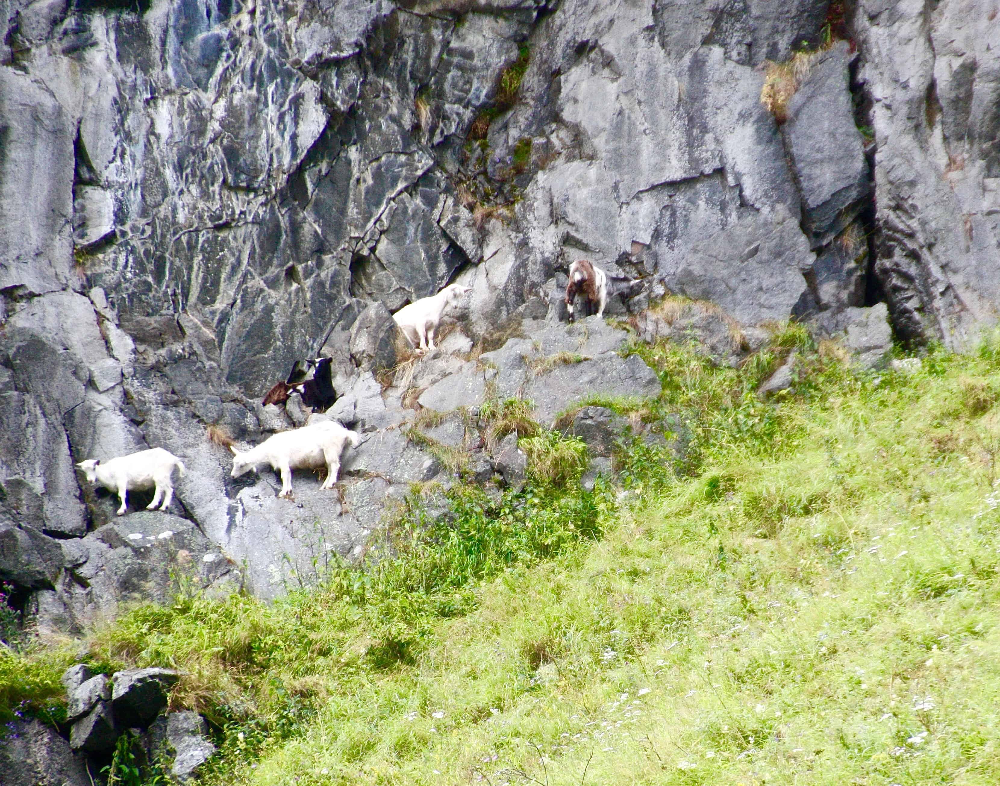 Goats along Naeroyfjord