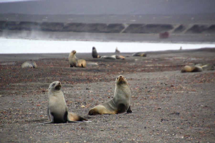 Antarctic Fur Seals at Deception Island