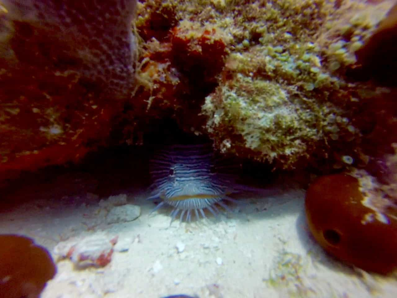 Cozumel Diving - Paraiso - Splendid Toadfish