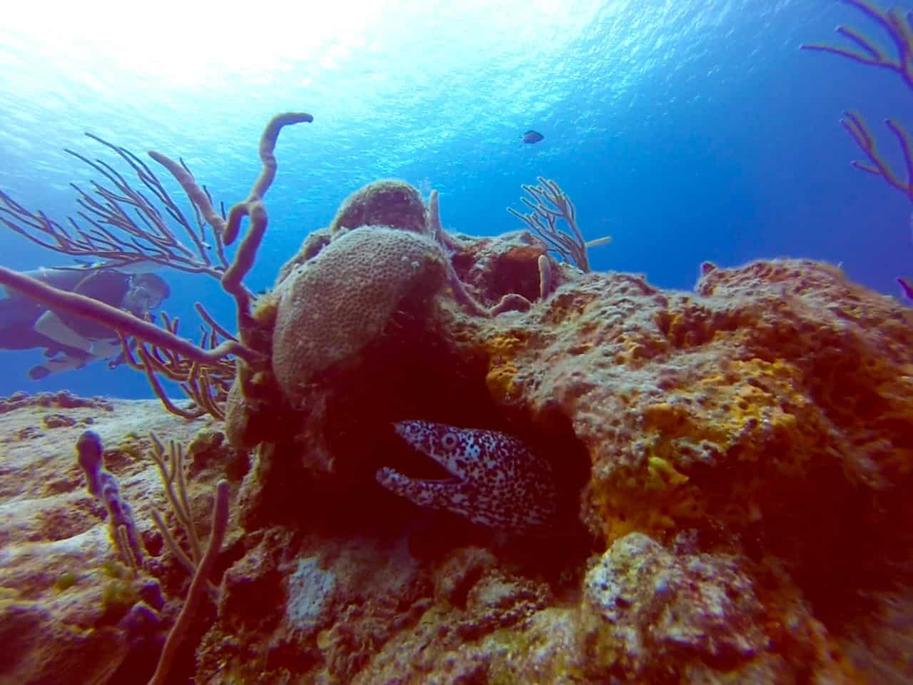 Cozumel Diving - Paraiso - Spotted Moray Eel