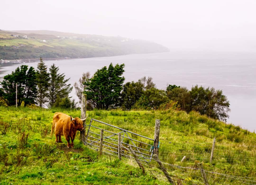 A highland cow, pronounced heiland coo by the locals - is something to look out for on an Isle of Skye road trip.