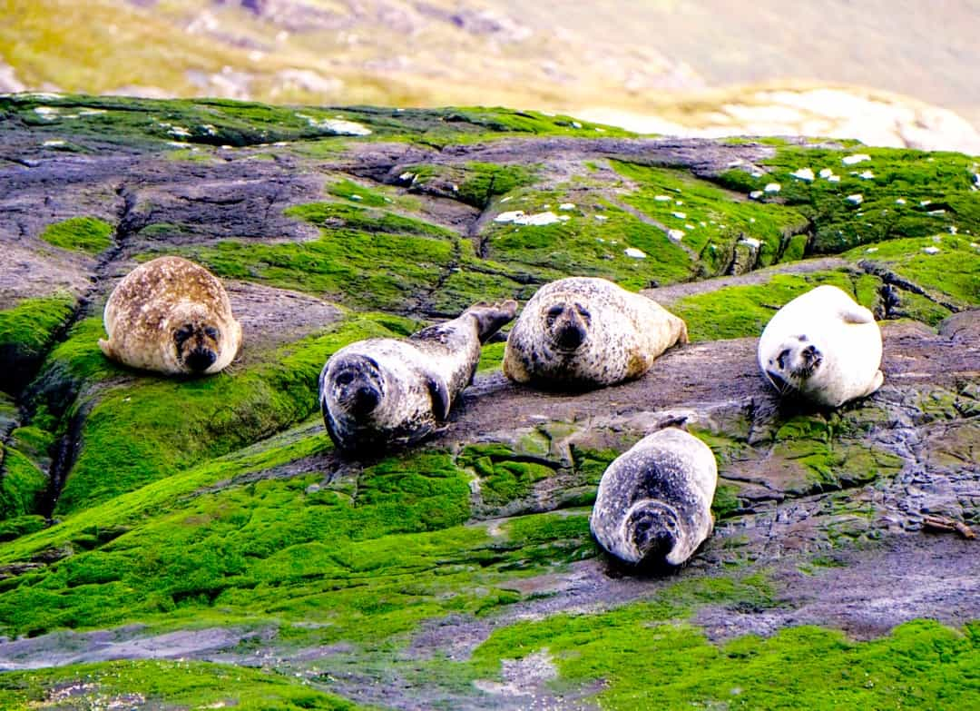 Seals rest on green moss-covered rocks on the boat tour to Loch Coruisk.