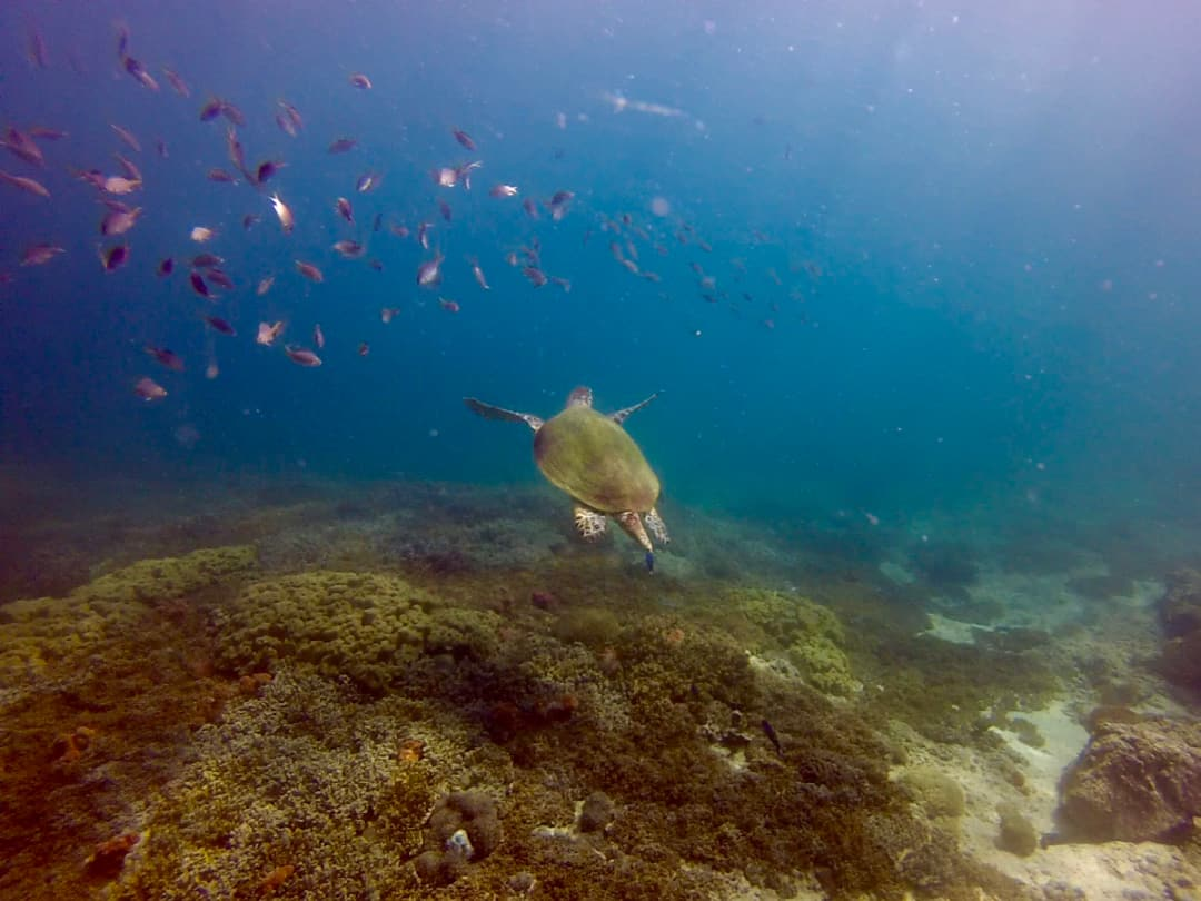Diving in Oman - Turtle at Mermaid Cove