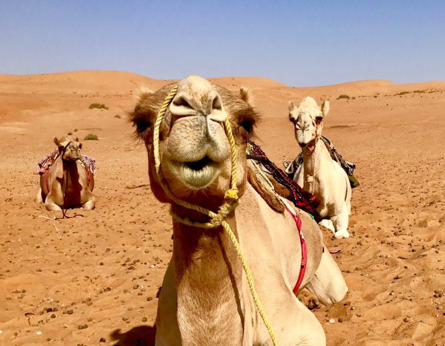 Oman Travel Guide - Camel Riding at Sharqiya Sands