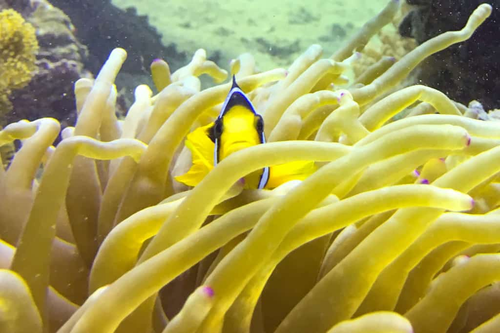 Oman adventure - a shy clown fish keeps an eye on us from the safety of his anemone home during our dive at Mermaid Cove.>